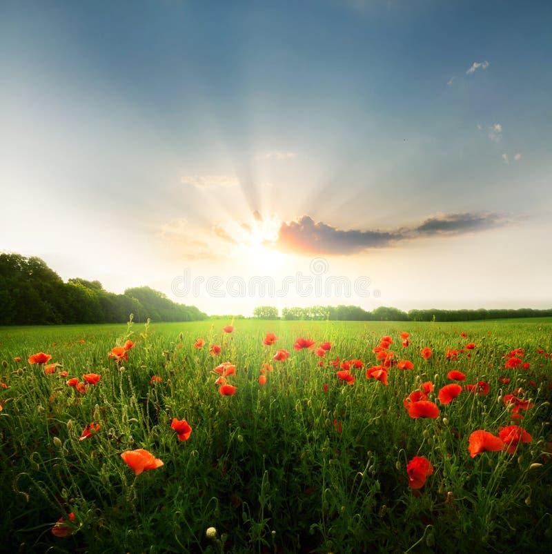 Gebied van papaversbloemen royalty-vrije stock afbeelding