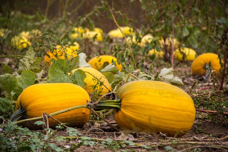 Gebied van pompoenen tijdens oogstseizoen royalty-vrije stock fotografie