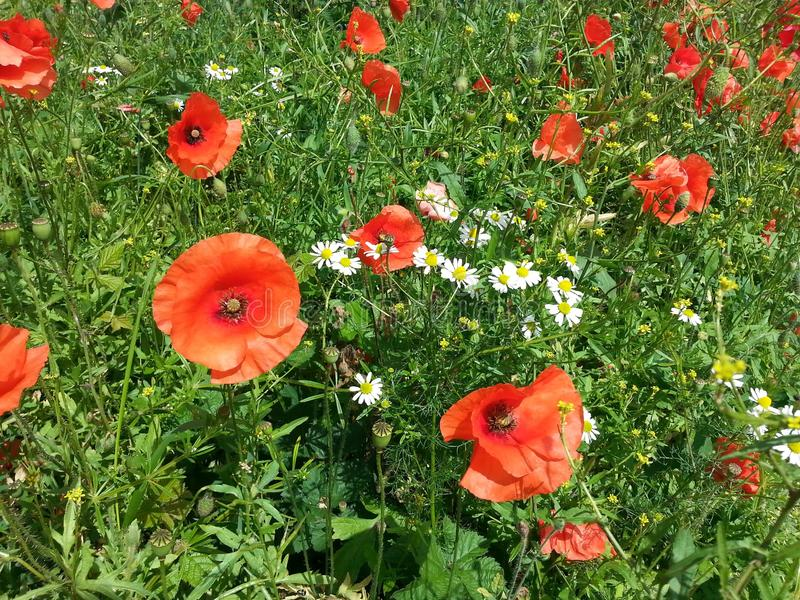 Gebied van poppy& x27; s en daisy& x27; s royalty-vrije stock foto's