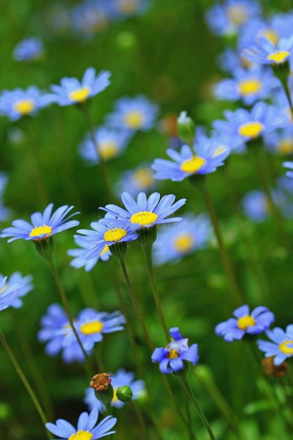 Gebied van Purpere Bloemen stock afbeeldingen