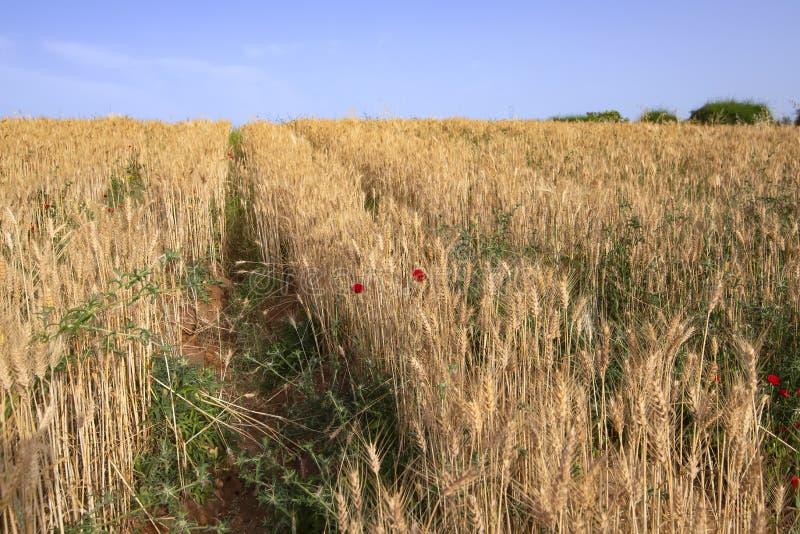 Gebied van rijen van gouden rijpe tarwe met rode papaversbloemen royalty-vrije stock afbeeldingen