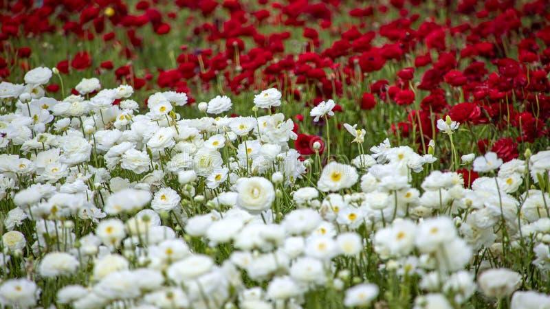 Gebied van rijen van witte en rode bloeiende bloemenboterbloemen stock afbeelding
