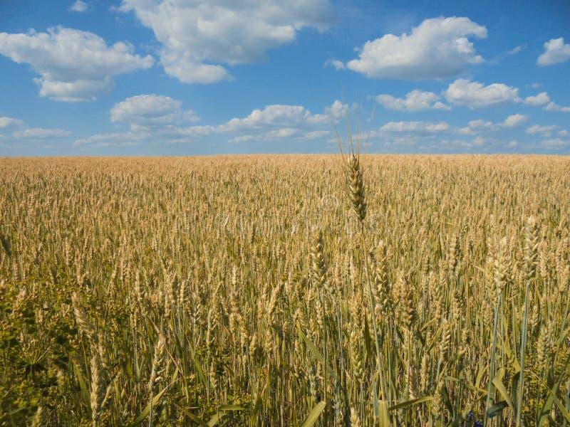 Gebied van rijpe tarwe van gouden kleur en blauwe hemel met witte wolken royalty-vrije stock foto