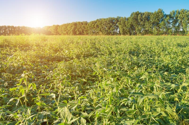 Gebied van rijpende groene organische sojaboon royalty-vrije stock afbeelding