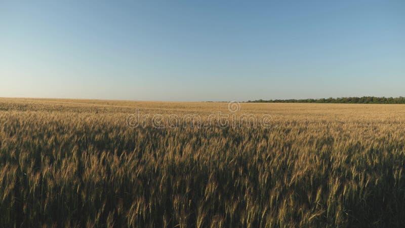 Gebied van rijpende tarwe tegen de blauwe hemel De aartjes van tarwe met korrel schudt de wind Milieuvriendelijk stock foto