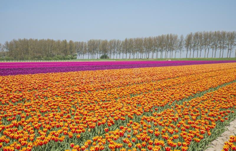 Gebied van rode gele anmd purpere tulpen in Holland stock foto's