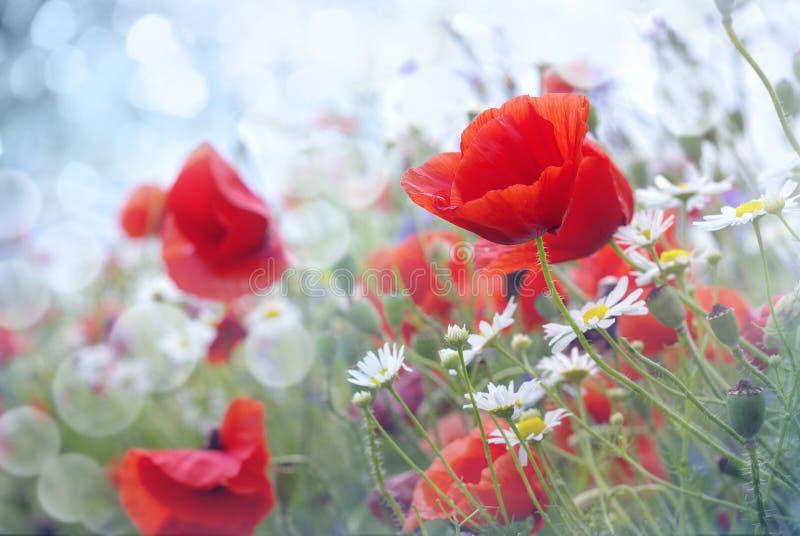 Gebied van rode papaverbloemen stock fotografie