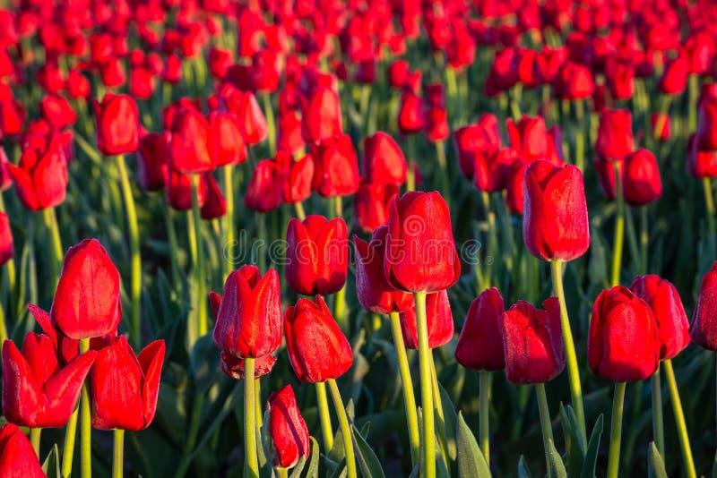 Gebied van rode tulpen die in de vroege ochtendzon gloeien stock foto