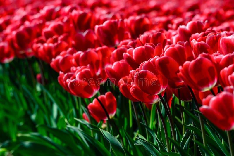 Gebied van rode tulpen in Holland, de kleurrijke bloemen van de de lentetijd royalty-vrije stock afbeelding