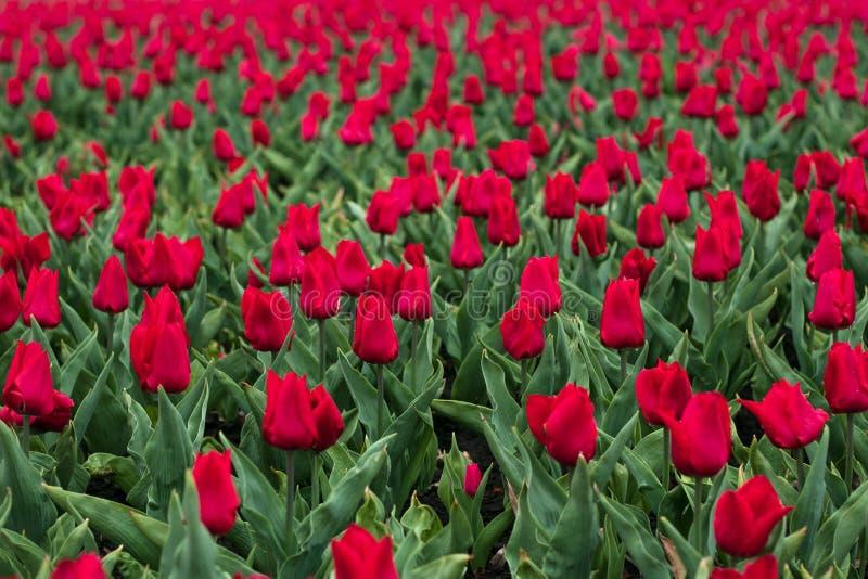 Gebied van rode tulpen na regen in de lente Vers groen gras De rode bloem van de Tulp enkel Geregend Tulip Field royalty-vrije stock foto
