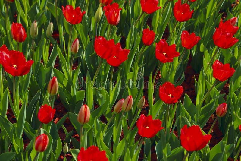 Gebied van rode tulpen Rode tulpenachtergrond Mooie aardachtergrond stock foto