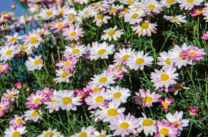 Gebied van roze madeliefjes op een zonnige de zomerdag royalty-vrije stock afbeeldingen