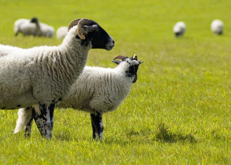 Gebied van schapen stock afbeeldingen