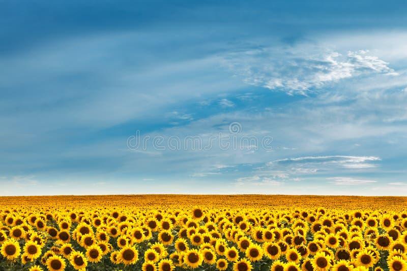Gebied van Sunflowers royalty-vrije stock foto