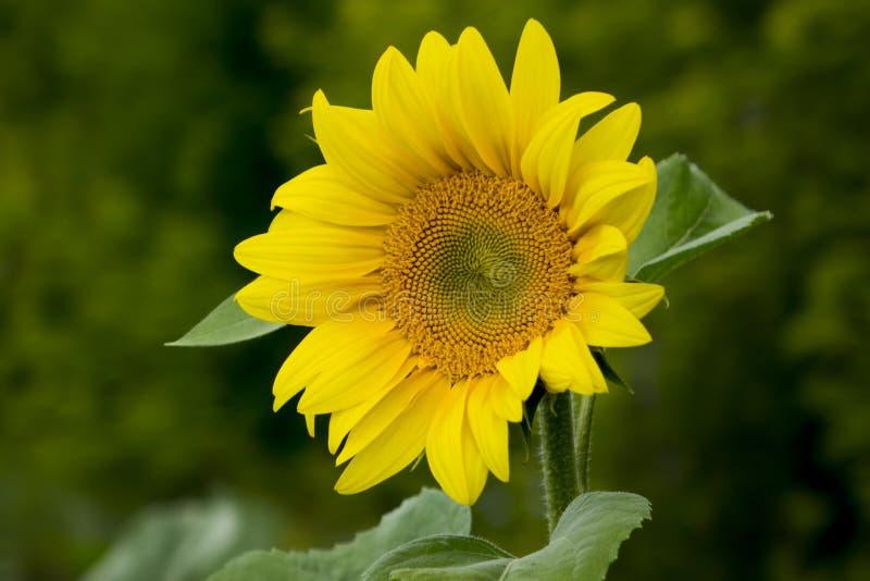 Gebied van Sunflowers stock foto