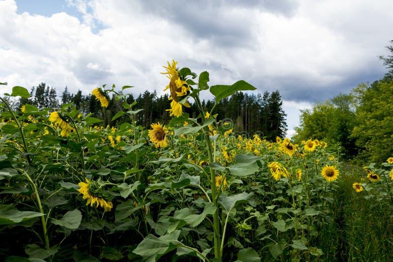 Gebied van Sunflowers stock afbeeldingen