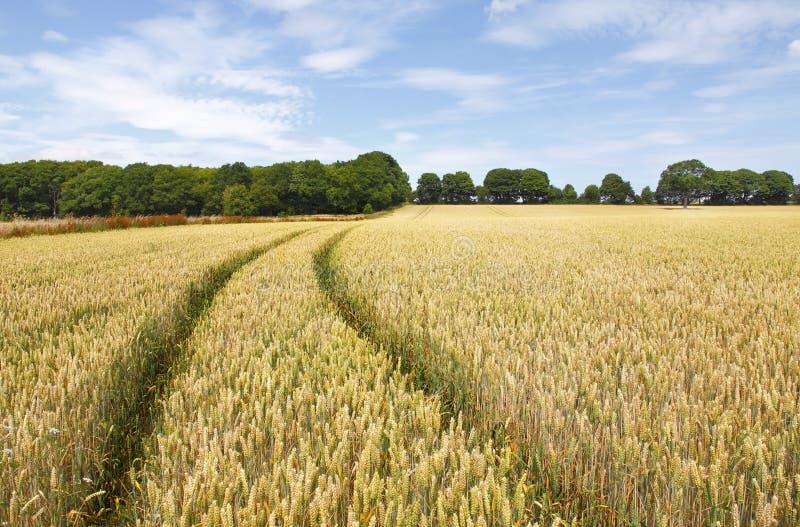 Gebied van tarwe stock afbeelding