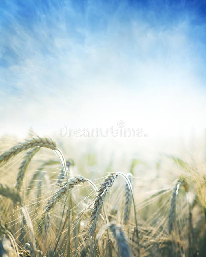 Gebied van tarwe stock foto's