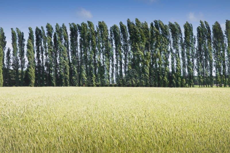 Gebied van tarwe bij zonsondergang met ciprespopulier op achtergrond stock foto