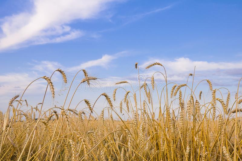 Gebied van tarwe en aren tegen een blauwe hemel met wolken stock afbeelding