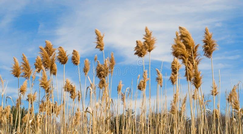 Gebied van tarwe en hemel royalty-vrije stock afbeelding
