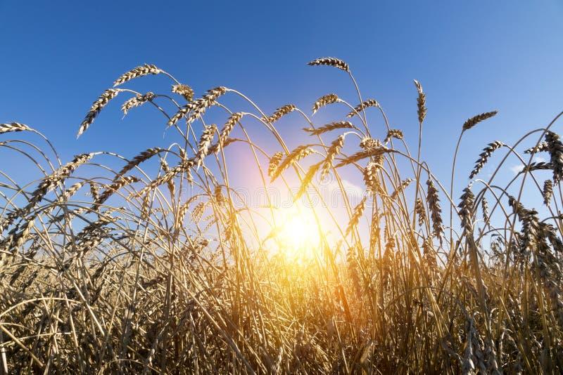 Gebied van tarwe onder blauwe hemel royalty-vrije stock afbeelding