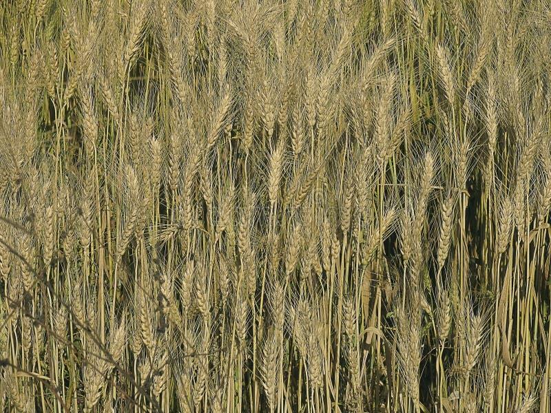 Gebied van Triticum aestivum L. stock foto
