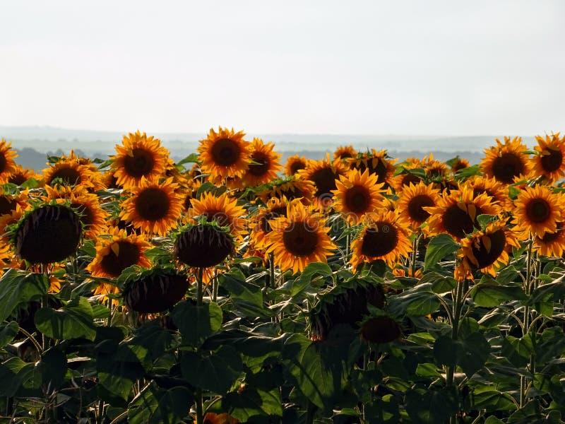 Gebied van vele Gele Zonnebloemen onder lichte Hemel royalty-vrije stock foto