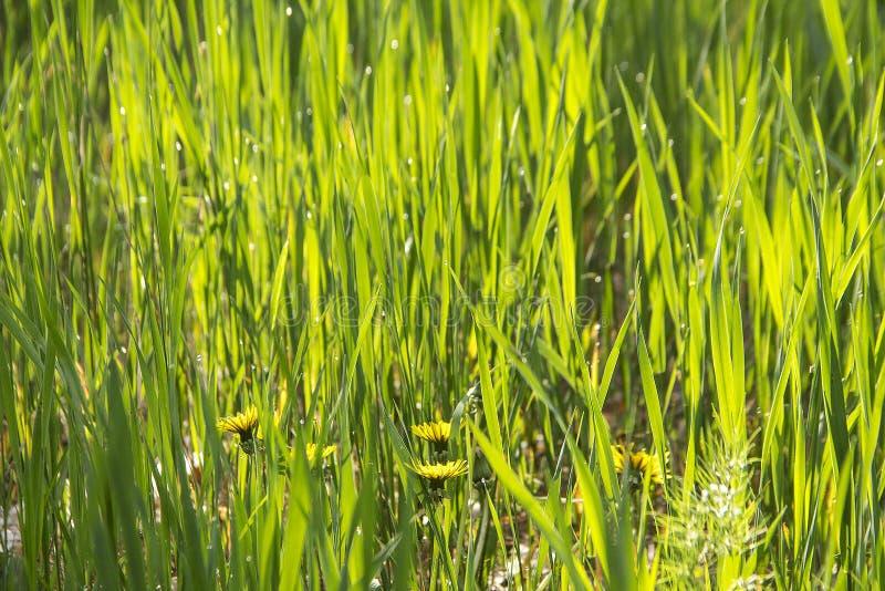 Gebied van verse groene de textuur natuurlijke achtergrond van het gazongras stock afbeelding