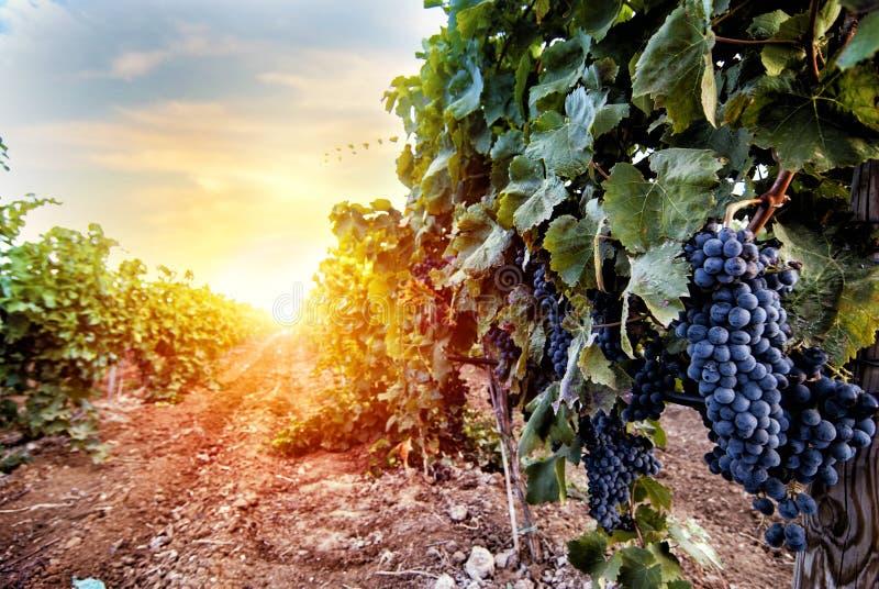 Gebied van wijngaardhoogtepunt van druiven tijdens zonsopgang royalty-vrije stock afbeelding