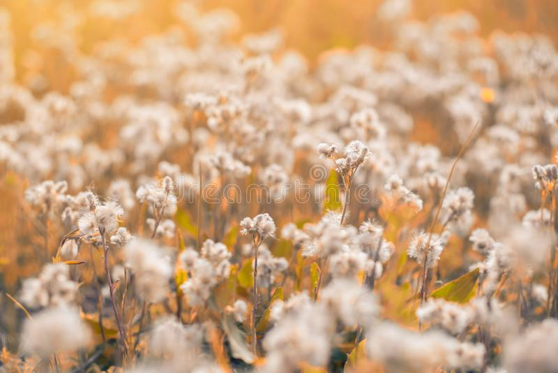 Gebied van wilde, witte paardebloemen in de herfst royalty-vrije stock fotografie
