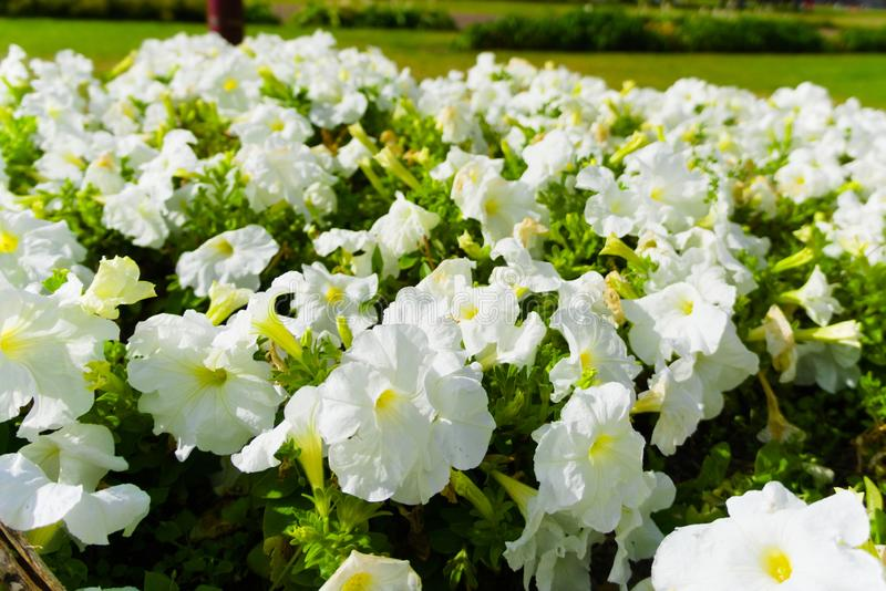 Gebied van witte bloemen die in de de zomerzon bloeien royalty-vrije stock afbeelding