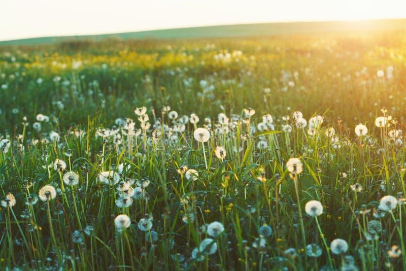 gebied van witte paardebloembloemen, het licht van de ochtendzonsopgang royalty-vrije stock afbeeldingen