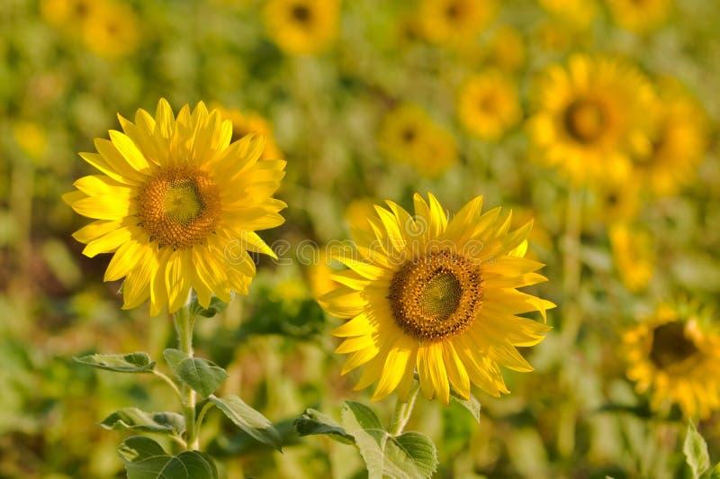 Gebied van zonnebloemen stock foto