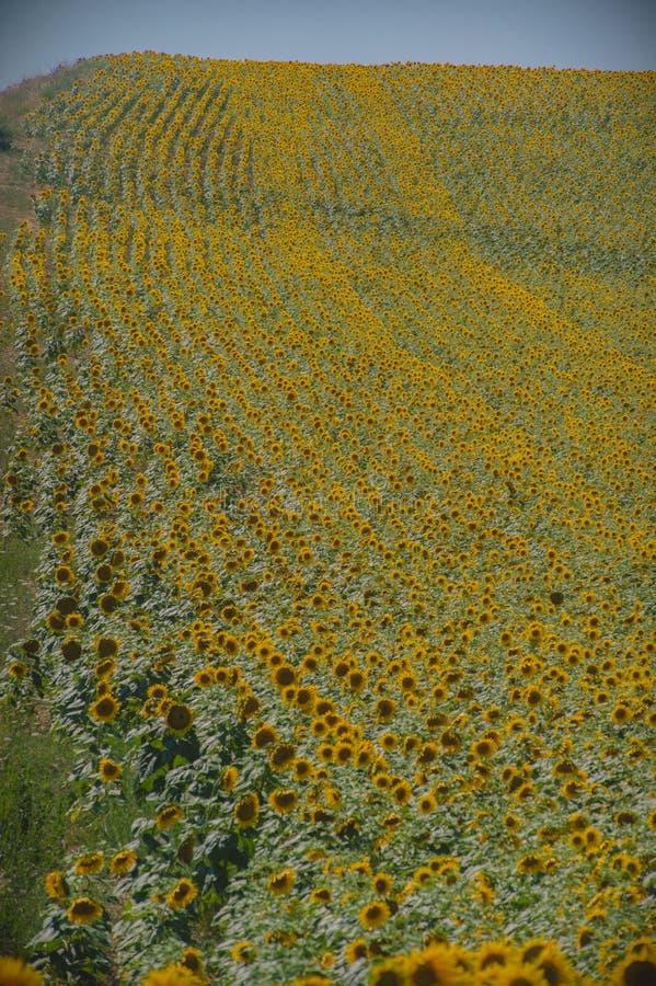 Gebied van zonnebloemen in de Provence, Frankrijk stock fotografie