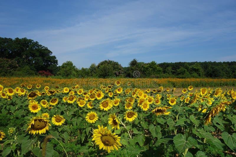 Gebied van zonnebloemen in Dix-Park, Raleigh, NC stock foto