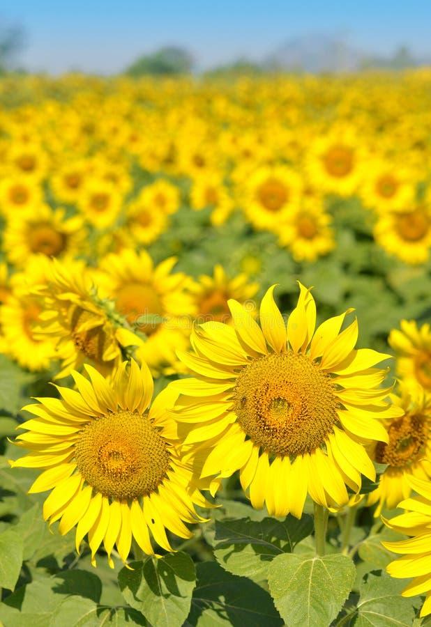 Gebied van zonnebloemen en blauwe hemel stock foto's