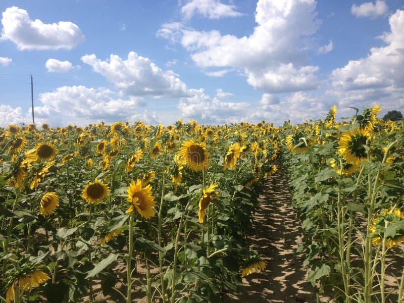 Gebied van Zonnebloemen met Blauwe Hemel en Wolken stock afbeelding