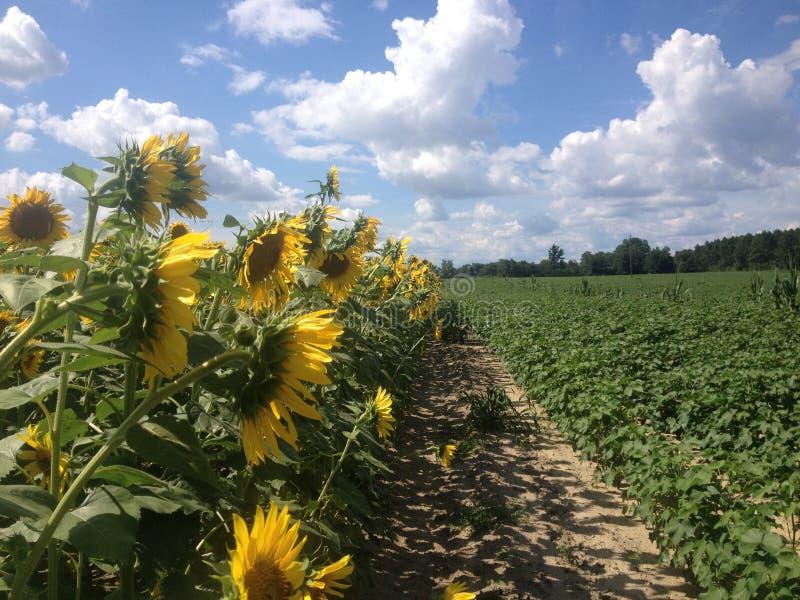 Gebied van Zonnebloemen met Blauwe Hemel en Wolken stock afbeeldingen