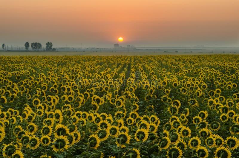 Gebied van zonnebloemen met zonsopgang royalty-vrije stock foto's