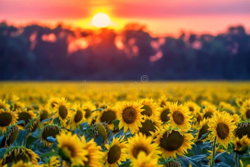 Gebied van zonnebloemen tijdens zonsondergang stock foto's