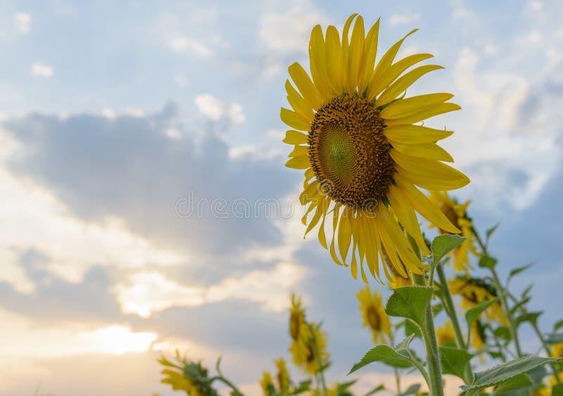 Gebied van zonnebloemen in zonsondergangtijd royalty-vrije stock afbeelding