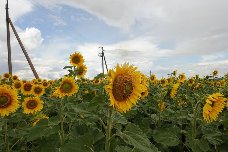 Gebied waar de gele zonnebloemen groeien stock afbeelding