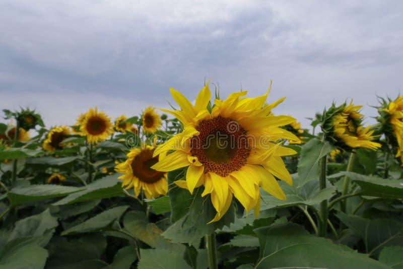 Gebied waar de gele zonnebloemen groeien stock foto's