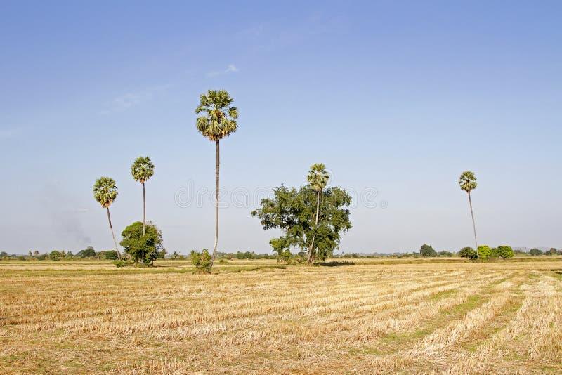 Gebieden en rijststro en rijststoppelveld en suikerpalm en evenin royalty-vrije stock foto's