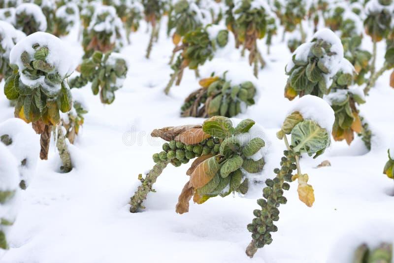 Gebieden met groenten onder de sneeuw stock foto's