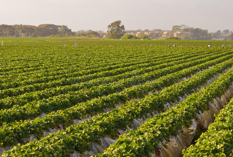 Gebieden van Aardbeien, Carlsbad Californië stock foto's