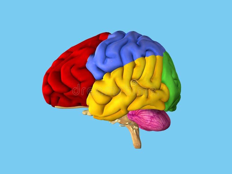 Gebieden van de hersenen vector illustratie