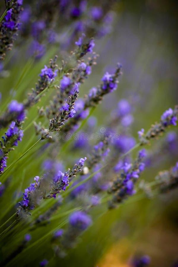 Gebieden van lavendel stock afbeeldingen