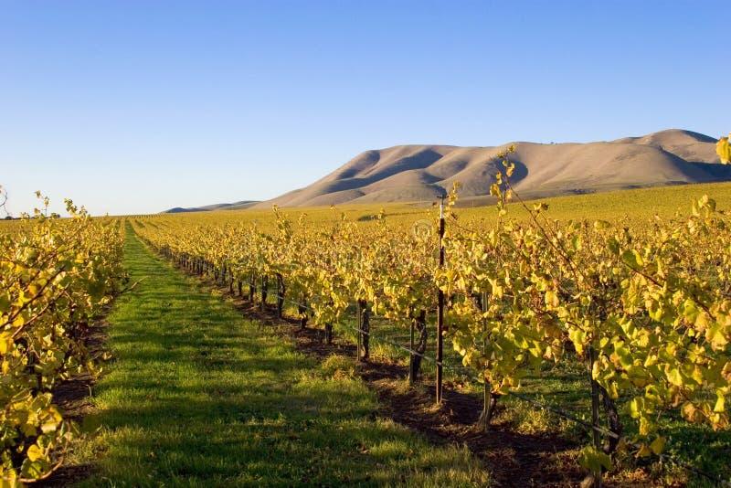 Gebieden van Wijnstokken stock afbeelding